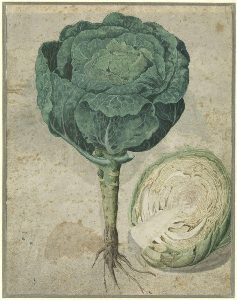 Allemagne XVe siècle – Etude de choux – Aquarelle sur parchemin - Musée Grobet-Labadié